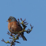Chaffinch - Old Hall