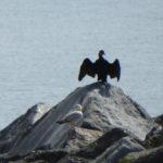 Heraldic Cormorant - Lyme Regis