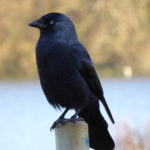 Jackdaw - Hatfield Forest