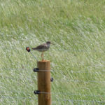 Redshank - Old Hall