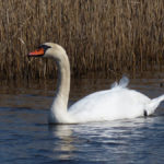 Mute Swan - Old Hall