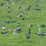 Brent Geese - Old Hall