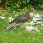 Sparrowhawk - Our Back Garden, Chelmsford!