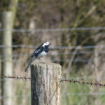 Pied Wagtail - Old Hall
