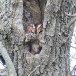 Tawny Owl Hatfield Forest