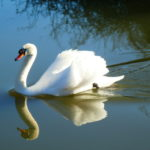 Mute Swan on the River Chelmer