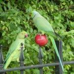 Parakeet - a new bird to England