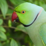 Parakeet - a new bird to England!