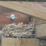 Hungry Blackbird chicks!