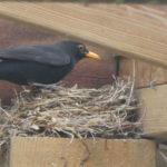 Blackbird at nest