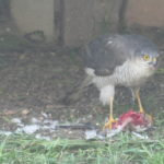 Sparrowhawk in our Back Garden, Chelmsford