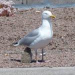 Herring Gull & chicks