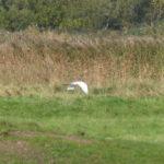 Great White Egret - not seen in Baker's time!