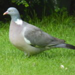 Woodpigeon - an easy target for Peregrines!